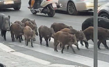 Wild boars have become a real bully in northern Rome